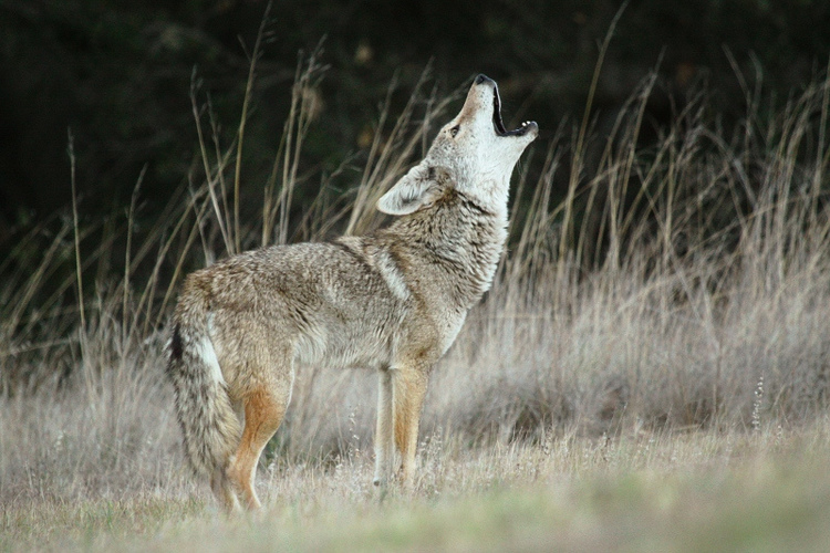 Coyote howling.